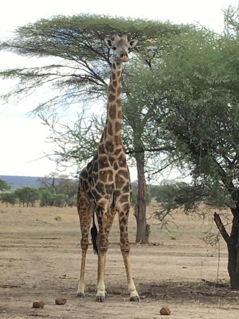 A Tanzanian giraffe standing in Tarangire National Park