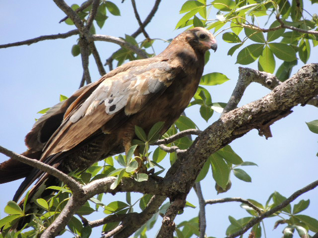 A bird of prey spotted sitting in a tree at the Tarangire National Park in Tanzania
