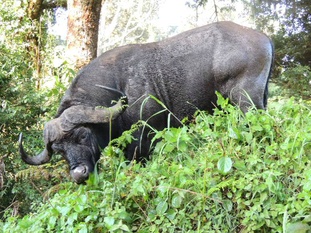 A buffalo eating vegetation on the rim of the Ngorongoro Crater in northern Tanzania