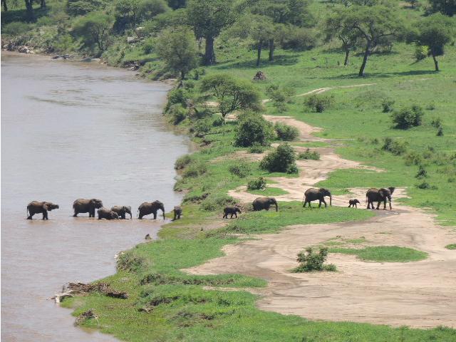 A family of elephants crossing the Tarangire River inside the Tarangire National Park in Tanzania