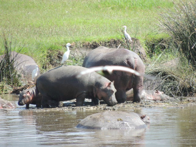 A family of hippos bathing in the swamp inside the Ngorongoro Crater in Tanzania