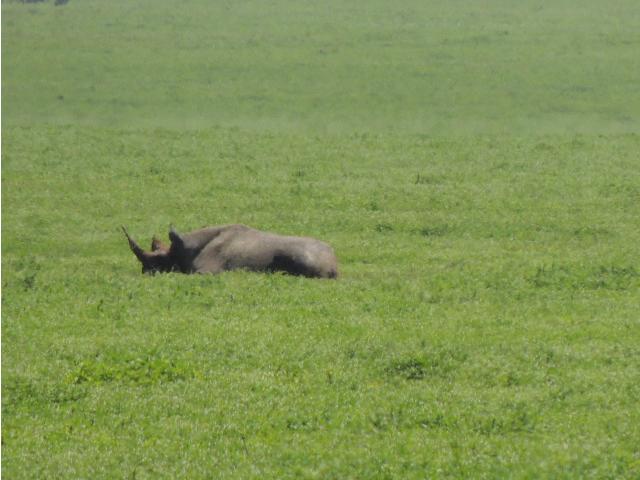 A rare Black Rhino sitting down on the Ngorongoro Crater floor in Tanzania