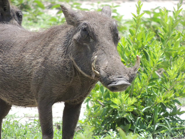 A standing warthog in a Tanzanian national park
