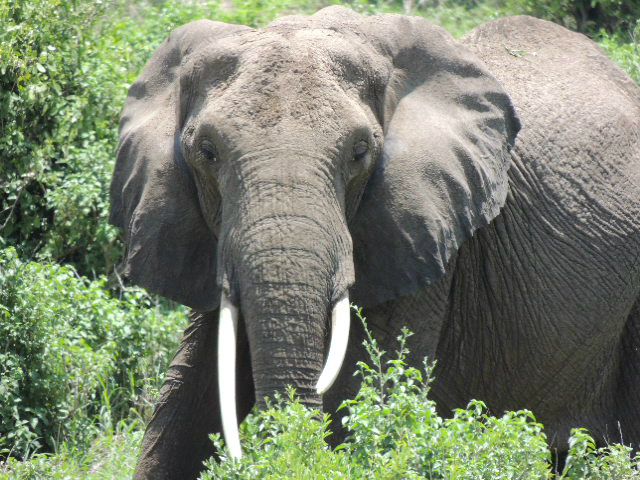 African elephant with tusks standing in the Tarangire National Park Tanzania