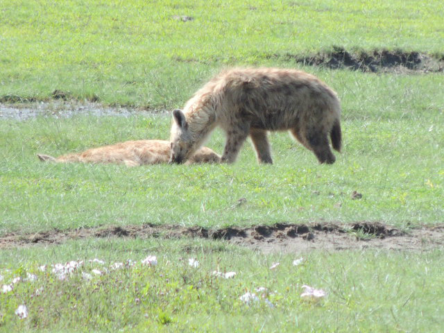 Spotted hyenas resting on the Ngorongoro Crater floor in Tanzania