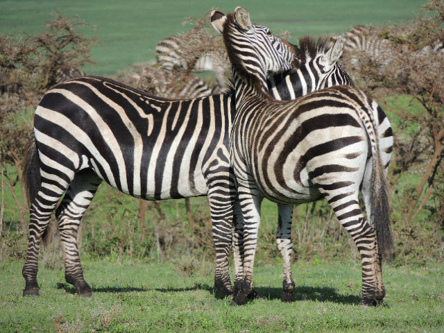 Two Zebras standing next to each other in the Ngorongoro Conservation Area in Tanzania