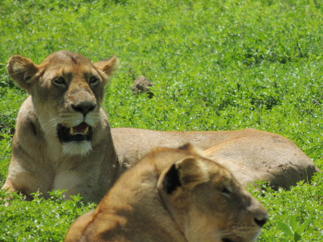 A pack of lionesses in the Ngorongoro Crater in northern Tanzania