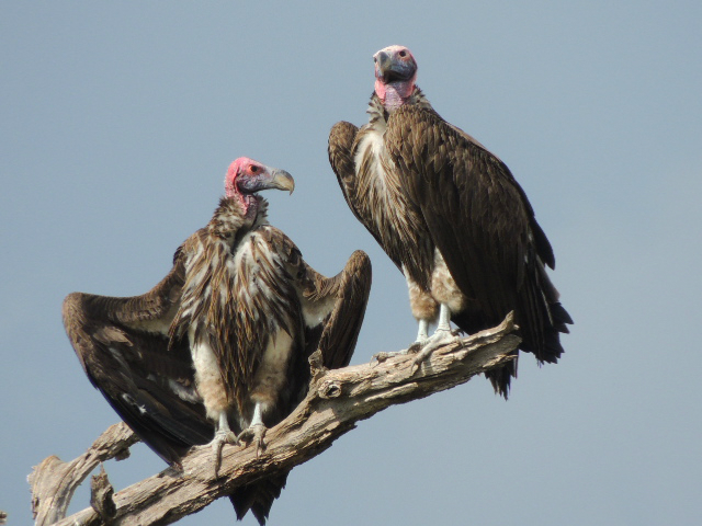 Two vultures standing at the top of a tree in Tarangire National Park in Tanzania